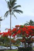 Дерево цветущее кпасными цветами украшает центр столицы
