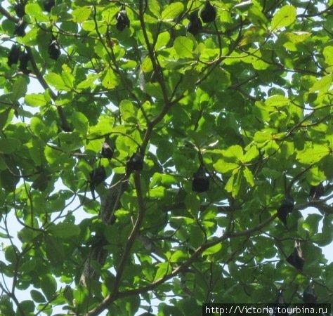 Днем летучие лисицы мирно спят на дереве.