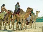 тренировка беговых верблюдов. к большому вреблюду