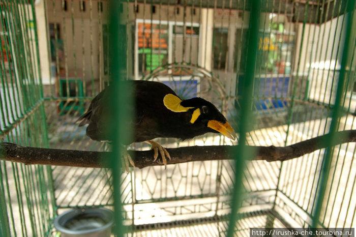 Птица Бео умеет запоминать и воспроизводить человеческим голосом слова и небольшие фразы, которые часто слышит. Слушать их говор интересно и весело. Мы часто видели этих птиц в клетках у азиатов.