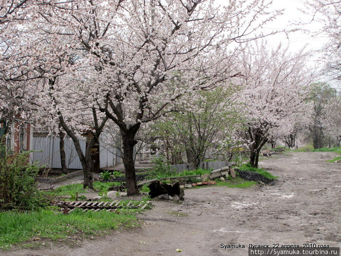 Цветущее зрелище на улице Губского действительно было сказочным!