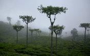 Вид чайных плантаций в тумане завораживает.