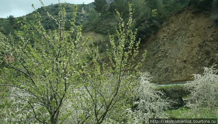 весна, цвет черешни