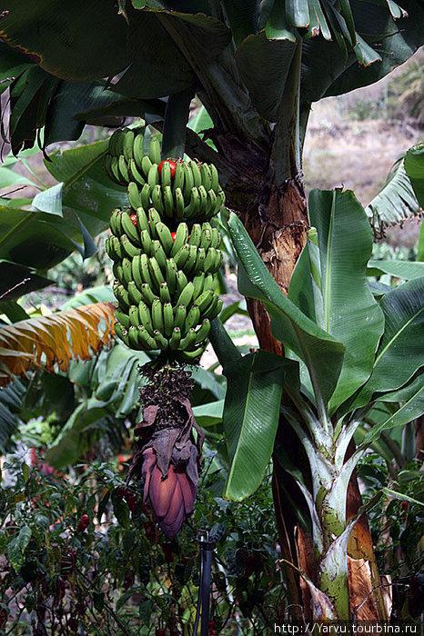Основной источник доходов на Ла-Гомера — выращивание бананов. Зачем в них хранят помидоры не понятно :)