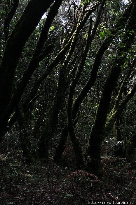 Реликтовый лес в парке Гарахонай.