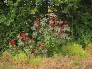 В нашей полосе клещевина — красивое однолетнее растение. В субтропиках — многолетнее дерево. Будьте осторожны — оно ядовито!