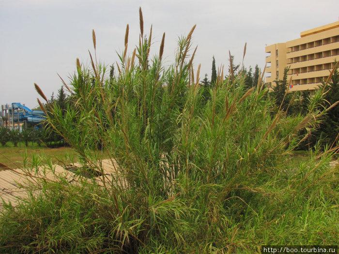 Кортадерия (или пампасова трава) может достигать в высоту до 3-х метров!