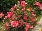 Чудный розовый куст — на отдом растении цветы жёлтых, белых и алых оттенков!