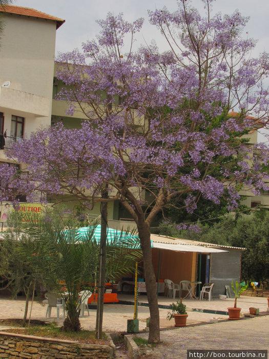 А на этом дереве листьев пока нет. Только фиолетовые цветы.