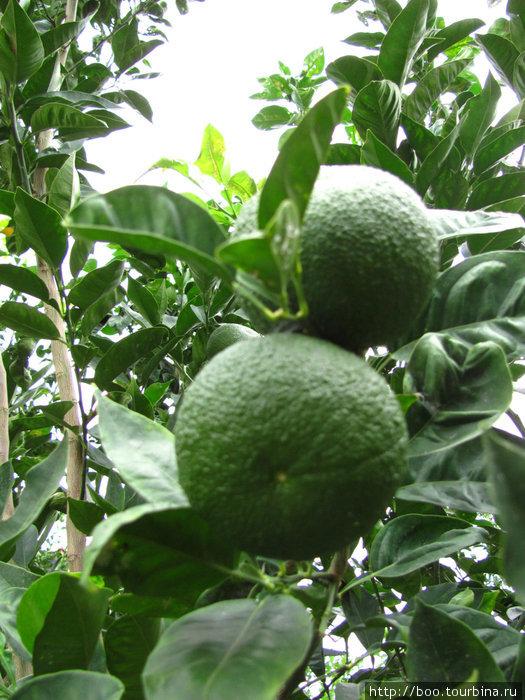 апельсины еще зелёные