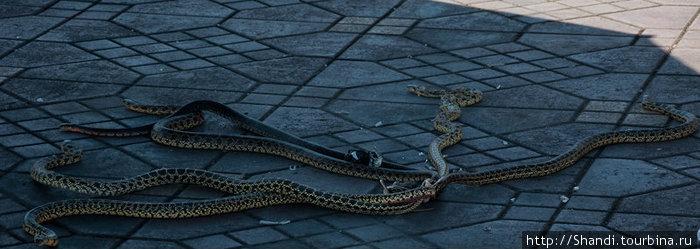 Рядом с факирами шевелятся водяные змеи, связанные за кончики хвостов.