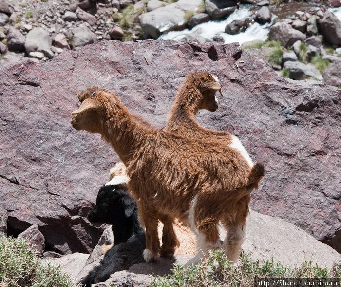 Дорогу путешественникам то и дело переступают всяческие козлы. Некоторые чем-то напоминают российского двуглавого орла.