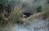 Морской лев на пляже Аллэнс Бич