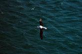 Альбатрос в полёте