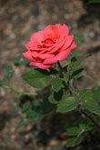 В Саранске +35. В центре много клумб с розами.