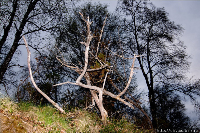 Типичное северное строение дерева