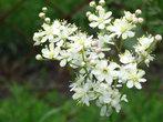 таволга (лабазник) — растение из Красной книги.