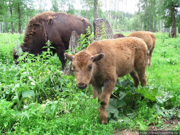 маленькие ягнята-бизонята, как и все малыши, любопытны