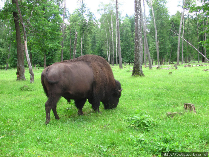 к счастью, этот вид уже восстановлен и в Америке на него даже разрешена охота