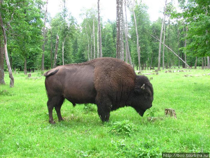 в питомнике так же живут и бизоны (естественно в своем отдельном загоне). этот бизон весит 1 тонну