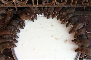 Хотя крысы вокруг большой миски – избитая тема, но в реальности выглядит интересно.