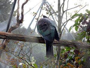 Новозеландский голубь