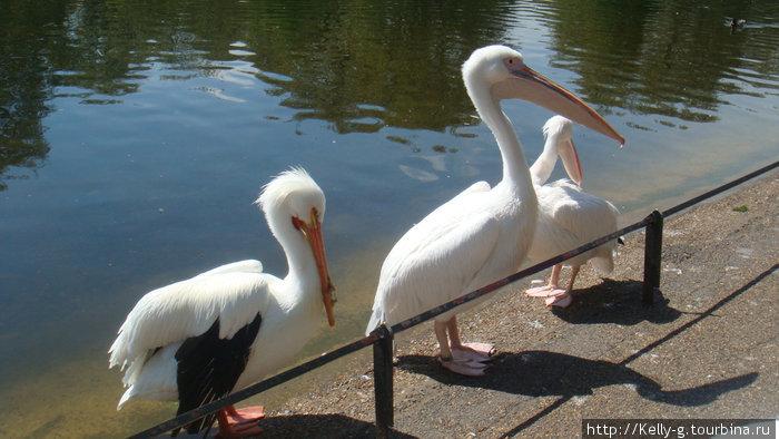 Русские пеликаны
