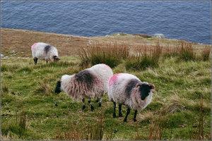 Пятна — ноу-хау фермеров. Одно пятно — хозяина, чтобы не путать стада на пастбищах, а второе —  барана. Ему красят грудь, и он , кроя овецу, оставляет на ней  след. Итого, ясно, какая уже готова.