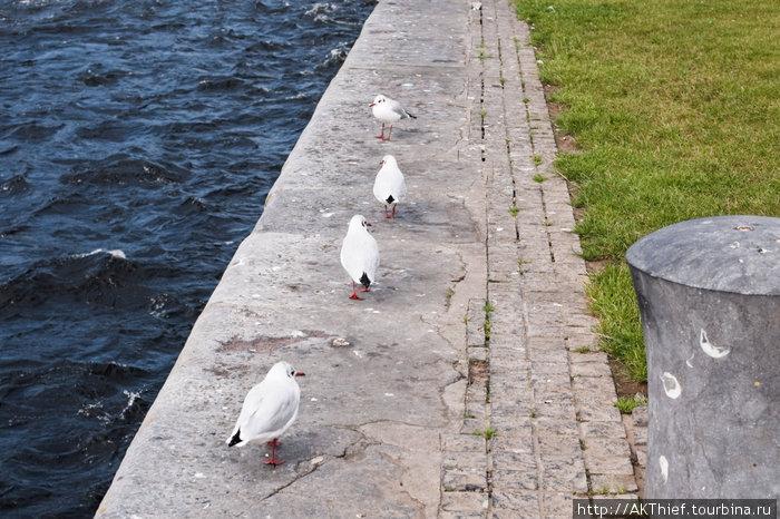 И, разумеется, бригада чаек, составляющая неизменный антураж побережного города Голуэй, Ирландия