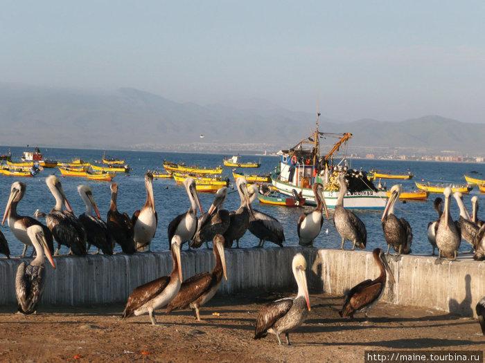 С Андаколло мы поехали на северо -запад в город Ла-Серена,где снимаем этих пеликанов.