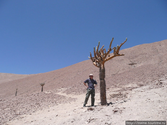 От Арики до боливийской границы 190 км на восток по дороге №11. Здесь на высоте свыше 2,500м растут кактусы Канделябр.