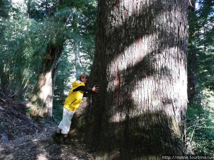 Подымаясь в горы на востоке от Виларики мы попали в лес деревьев -гигантов.