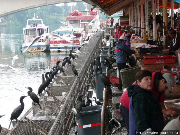 Рыбный рынок в Валдивии.За спиной третьего продавца  попрашайничает огромный морской лев.
