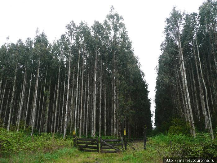 В Чили много эвкалиптовых лесов,завезенных из Австралии.