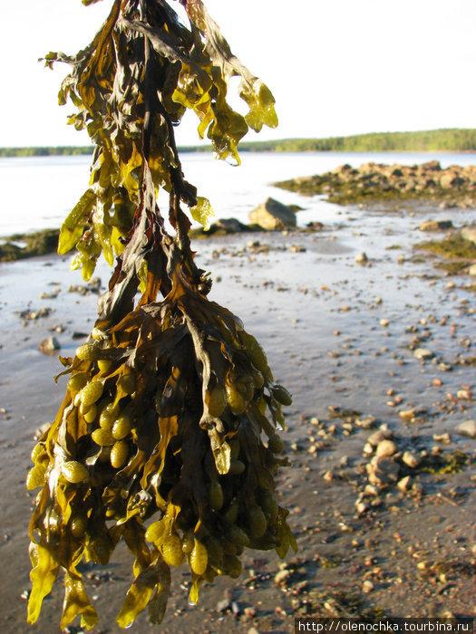 такие вот водоросли, похожие на маринованные огурцы