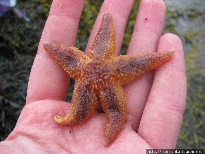 беломорские морские звезды