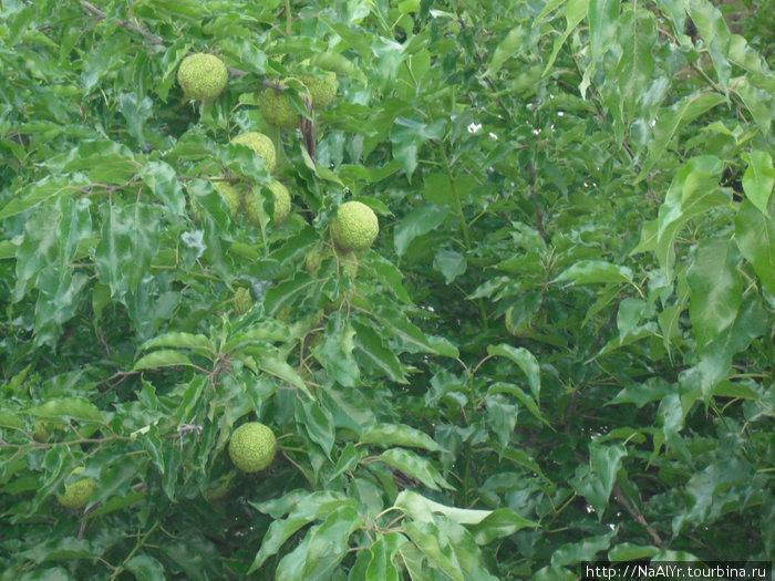 Яблоко Адамово фото