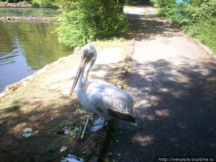Пеликан у пруда Нижнего парка.