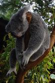 Сонный коала
