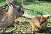 Валлаби меньше кенгуру. Они стараются избегать близкого соседства с большими братьями. На этой фотографии можно заметить, насколько недоволен валлаби.