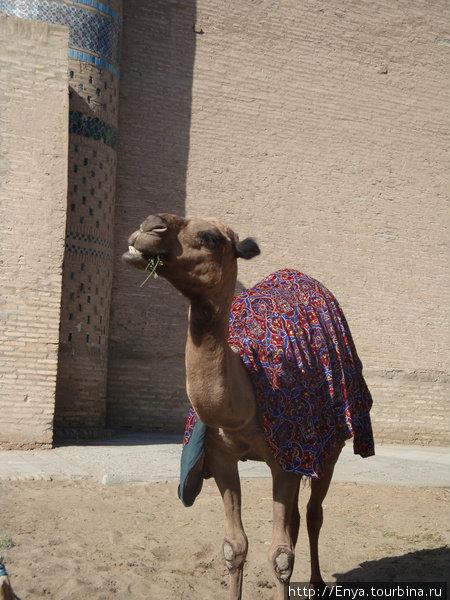 Хива. Верблюд :).