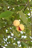 Мускатный орех- гордость Гренады, его плод даже нарисован на флаге страны