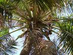 мм кокосики=) за 2 года наловчилась как индус лазить по пальмам и снимать кокосы