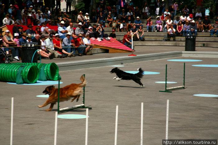 Перед выступлением индейцев было выступление собак. Они очень прикольно бегали через полосу препятствий.