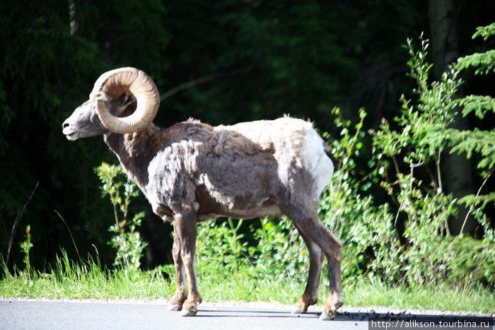 Это самэц. Смесь барана и козла. Называется bighorn sheep. Стадо из 4 особей пересекало дорогу. Это вожак. Он вышел первым и долго стоял оценивал обстановку. Заодно навалял там кучу шариков.