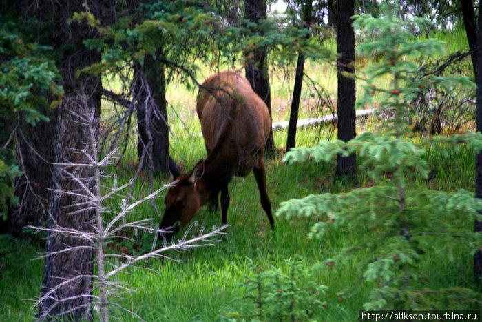 Это elk. Вроде оленя. Наверное, это самка, потому что без рогов.