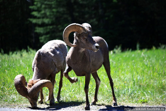 Это опять bighorn sheep (большерогие овцы).