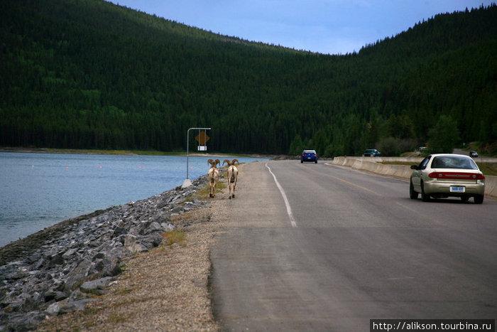 Пара большерогих овец шла по обочине дороги. Эта дорога проходит по насыпи через озеро, то есть, это вроде моста и им там деться некуда. Народ бежал за ними с камерами;)