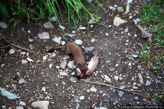 Это драма из жизни диких хомячков. Мы увидели одного из них с окровавленным горлом. Потом прибежал другой и стал его зализывать, а потом утащил его в кусты. Было очень жалко. Надеюсь, он его вылечит.