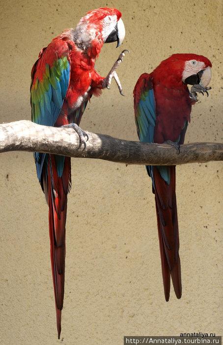 Зеленокрылые ара